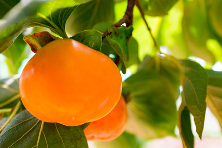 orange persimmon in garden with nature light
