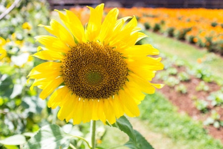 gele zonnebloem in de tuin met de natuur licht