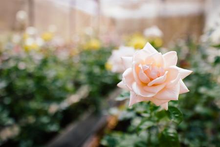 bloem roze roos in de tuin met bokeh op de achtergrond