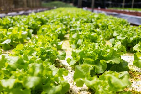 groene sla in de tuin met de natuur licht Stockfoto
