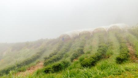tea farm with misty fog in thailand rainingday Stock Photo