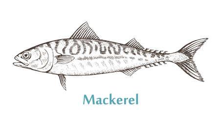 Sea fish mackerel on a white background