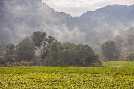 queen elizabeth: Rwandan tea plantations and mist. Tea is grown for Queen Elizabeth on thes in the field.