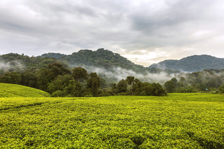 contributes: The colors of sunset on the sky and the tea plantation which accompanies with the colors. The mist going between trees contributes a nice effect to the landscape.