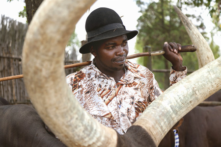 sitter: Ankole Watusi Museum, Rwanda, Africa - September 9, 2015: Unidentified man. The shepherd of Ankole-Watusi. This shepherd leads these cattles that he is responsible to look for hem by only whistling.