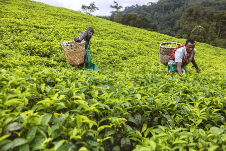 african basket: Kigali, Rwanda, Africa - September 7, 2015: Unidentified workers. Two African men in tea plantation. They pick up tea and put on the basket on their back and go on their work.