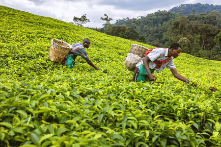 african basket: Kigali, Rwanda, Africa - September 7, 2015: Unidentified workers. The African workers. The men working on tea plantations collect tea on their basket. Editorial