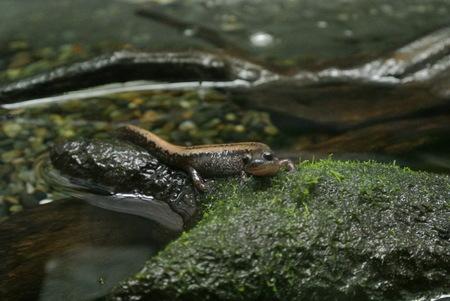 Salamandrella keyserlingii