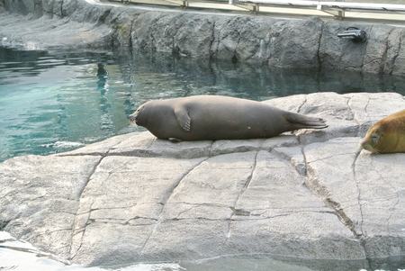Phoca and Harbor Seal 写真素材