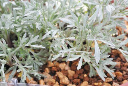 Green Artemisia japonica ssp. littoricola