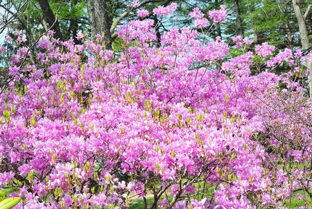 Lots of pink colors torch azalea 写真素材