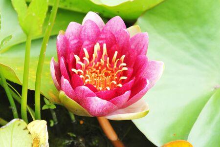 water lily Stock fotó