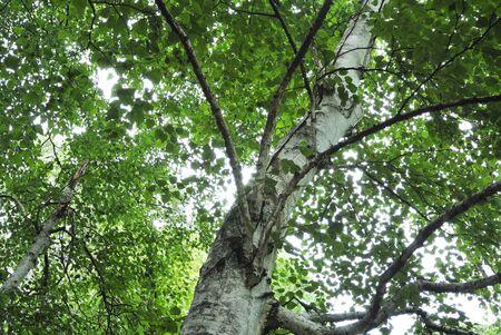 Japanese White Birch