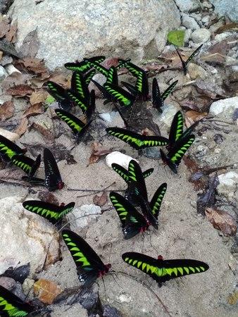 Raja Brooke butterflies Stock Photo