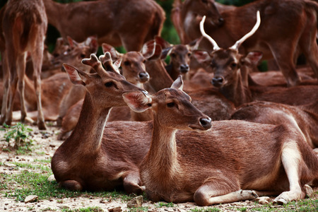 Group of whitetail deer Stock Photo