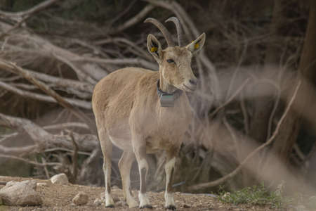 The Nubian ibex (Capra nubiana) is a desert-dwelling goat species found in mountainous areas of northern and northeast Africa, and the Middle East.