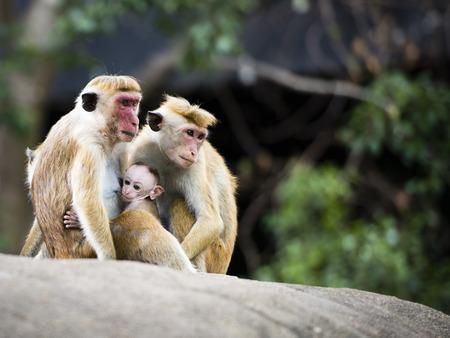 lactancia materna: Los macacos son primates del g�nero m�s difundida, que van desde Jap�n a Afganist�n y, en el caso del macaco de Berber�a (Macaca Sylvanus), al norte de �frica y el sur de Europa. Veintid�s especies de macacos se reconocen actualmente.