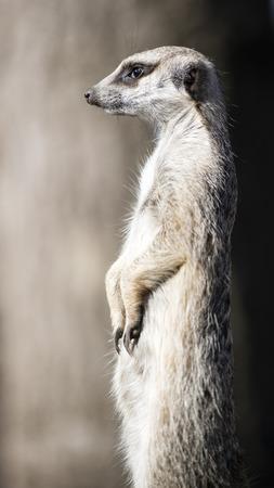 herpestidae: The meerkat or suricate, Suricata Suricatta, is a small carnivoran belonging to the mongoose family (Herpestidae). It is the only member of the genus Suricata. Meerkats live in all parts of the Kalahari Desert in Botswana, in much of the Namib Desert.