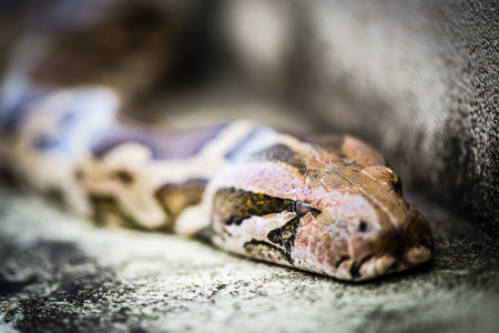 pythons: Python, is a genus of nonvenomous pythons found in Africa and Asia.