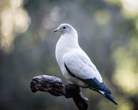 constitute: Pigeons and doves constitute the bird clade Columbidae, are stout-bodied birds with short necks, and have short, slender bills with fleshy ceres. Photographed using Nikon-D800E. Stock Photo