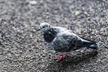 constitute: Pigeons and doves constitute the bird clade Columbidae, are stout-bodied birds with short necks, and have short, slender bills with fleshy ceres.