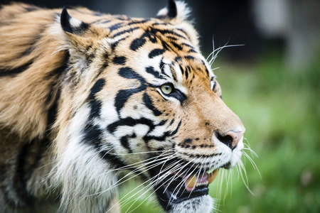 inhabits: The Sumatran tiger (Panthera tigris sumatrae) is a rare tiger subspecies that inhabits the Indonesian island of Sumatra.