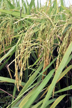 rural economy: Paddy Rice Strains Stock Photo