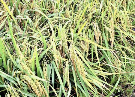 rural economy: Bunch Of Paddy Rice Ready For Harvest Stock Photo