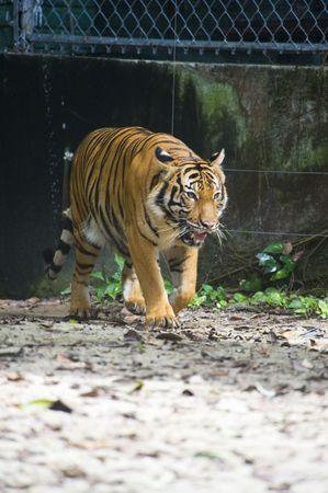 sumatran: Sumatran Tiger Prowling Her Territory
