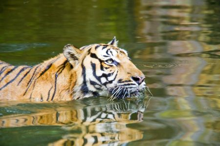 Sumatran tiger cooling off her body by swimming in the water. photo