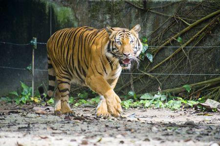 A Sumatran tiger prowling her territory photo