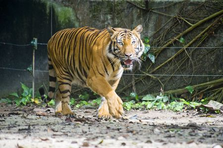 A Sumatran tiger prowling her territory photo