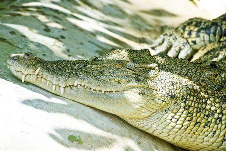 sun bathing: Crocodile sun bathing.