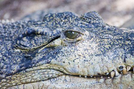 sun bathing: Head shot of a crocodile sun bathing. Stock Photo