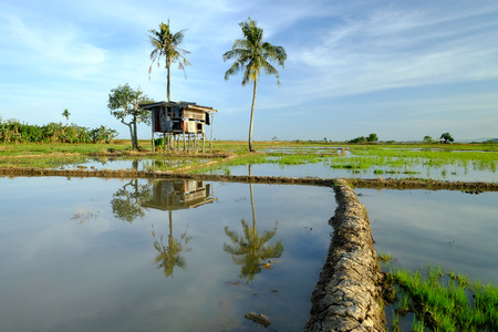 an old cottage the edge of a paddy field with palm trees Stock Photo