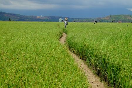 tuaran: The beautiful landscape of rice fields in kota belud, borneo.