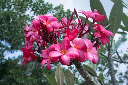 kamboja: Red Kamboja Plumeria flower of Bukit Tinggi, Pahang, Malaysia.