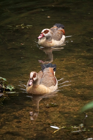 cackle: This is leadership. Two duck swimming at pond.