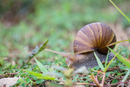 freshwater snails: Land snail is one of snail species that live on land, as opposed to sea snails and freshwater snails. It is a common name for terrestrial gastropod mollusks that have shells.