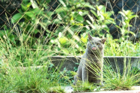 Environment conservation concept. Grey cat at lawn. Licking its mouth. Animal and pet concept.
