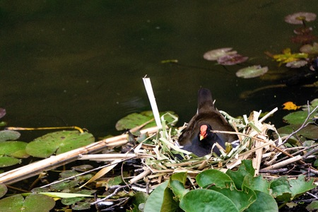 Environment conservation concept. Common moorhen laying the eggs. Animal, love and freedom concept.  Stok Fotoğraf