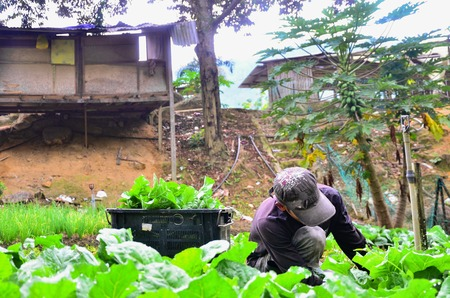 Farmer at work. A farmer harvesting the vegetables at his farm in Cameron Highland, Malaysia  Editöryel