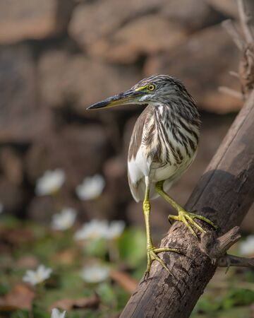 Indian pond heron sitting on bamboo stick looking side