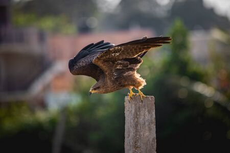 eagle sitting on pole ready to hunt about to dive