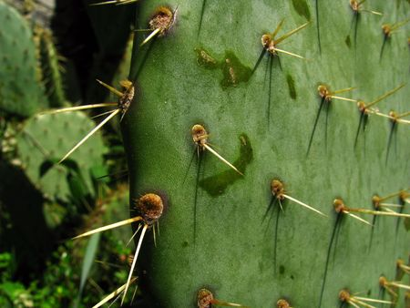 spines: a cactus spines