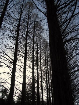 divergence: thin, tall trees under the winter sky