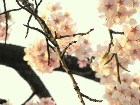 cherry blossoms Stock Photo - 4731779