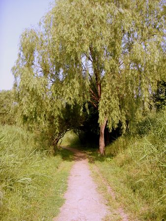 willow tree and a path in summer photo