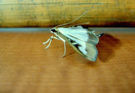 booby trap: a white moth ready to fly away from the floor