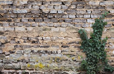 weathered grey brickwall with poison ivy Stock Photo - 5038542